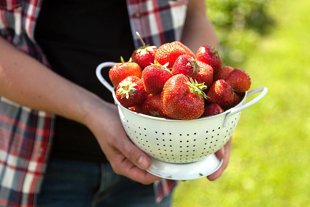 Ett par händer håller fram en vit bunke som är sprängfull med nyplockade röda jordgubbar.