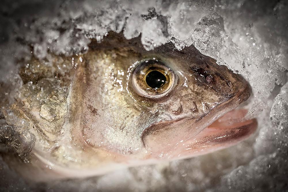 närbild på fiskhuvud som är omgivet att krossad is