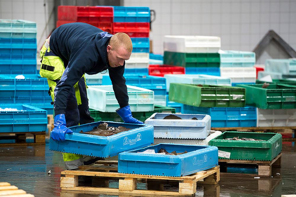 sortering av inkommen fisk. man böjer sig ned, ställer lådorna rätt på en lastpall, många färgglada lådor i bakgrunden