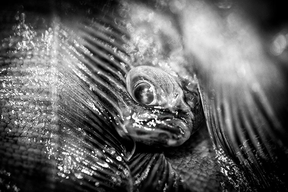 närbild av plattfisk med fenor och ett litet fiskansikte med stora ögon