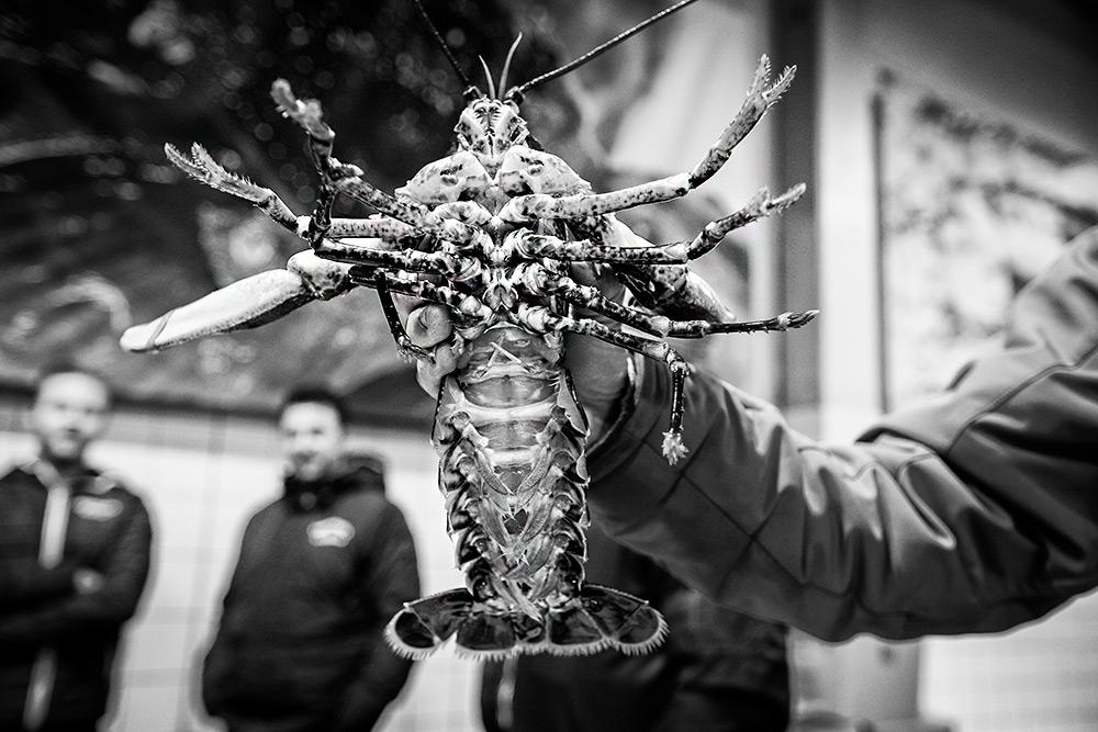 en hand håller en stor hummer som spretar med ben och klor.