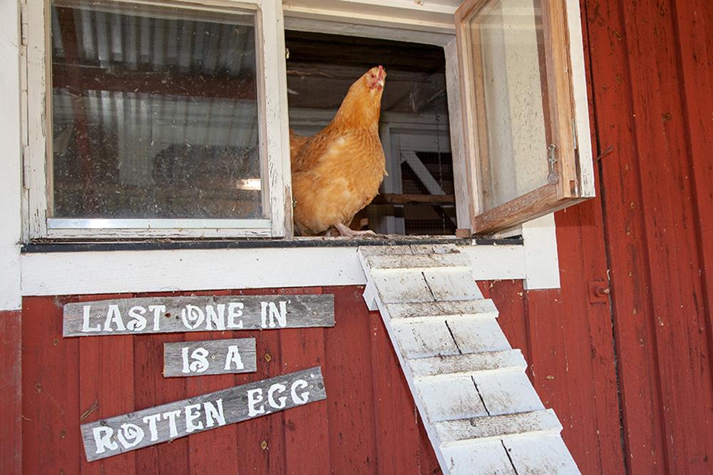 gulbrun höna går ut ur hönshus där det står en skylt last one in is a rotten egg