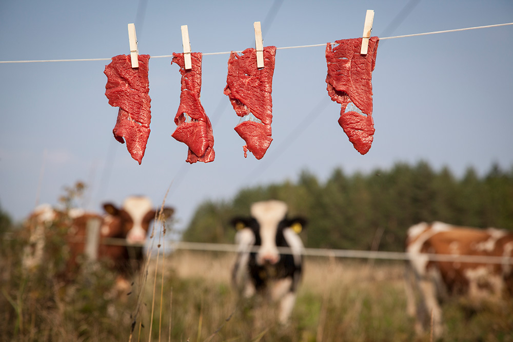 Kor på sommaräng bakom elstängsel. Framför hänger lövbiff på ett klädstreck fastsatt med klädnypor.